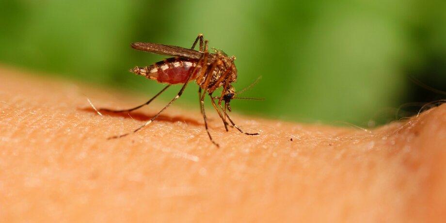 коронавирус передается через комариные укусы