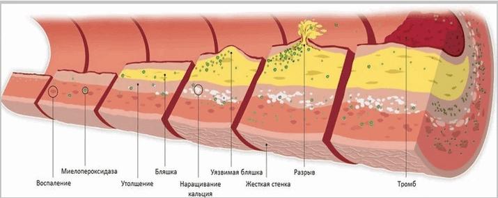Функция холестерина в организме